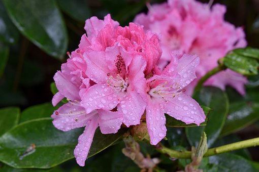 Flower, Flower Rhododendron, Rhododendron Pink