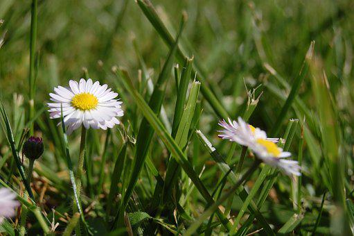 Daisy, Grass, White, Green, Spring, Flower, Garden