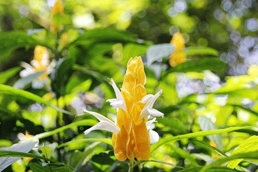 Gold Bud Flower, Pachystachys Lutea, Flower