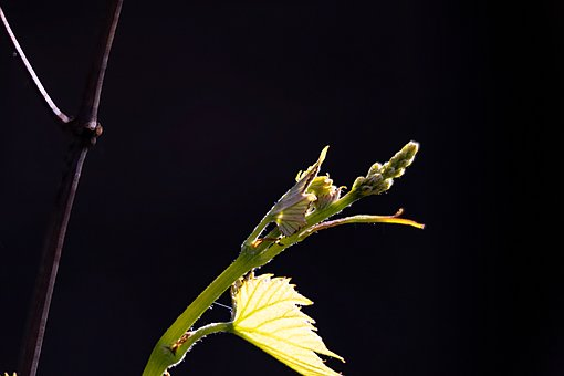 Plant, Wine, Bud, Spring, Tree, Green, Leaf, Branch
