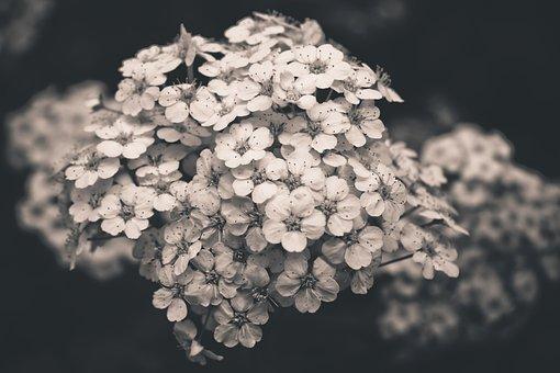 Plant, Firethorn, Bush, Flora, Nature, Inflorescence