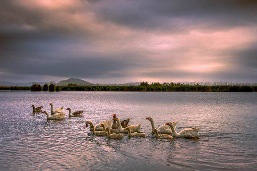 Geese, Wild, Lake, Poultry, Animal, Landscape, Birds