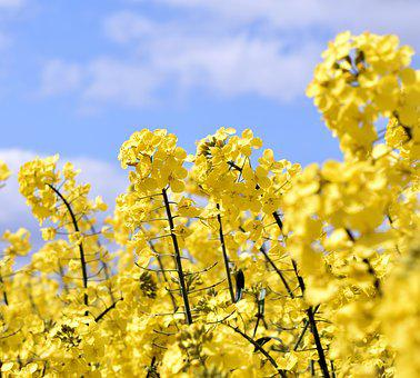 Oilseed Rape, Yellow, Sky, Field, Landscape, Spring