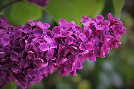 Violet, Sprig, Branch, Lilac, Garden, The Smell Of