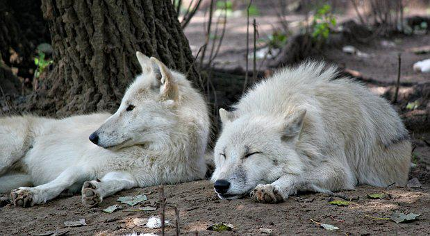 Wolves, Arctic, Whites, A Pair Of, Lying, Resting
