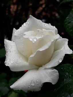 Rosa, Magnificent, Excellent, Drop, Rain, Nature, White