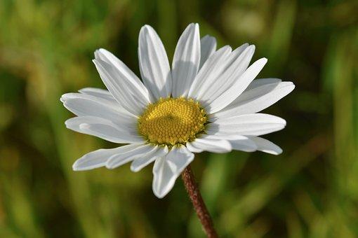 Flower, Daisy Flower, White Petals, Marguerite Stamens