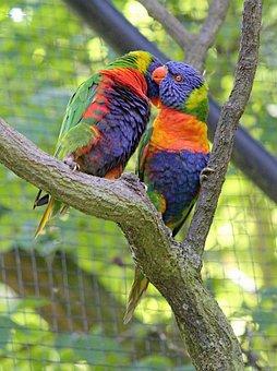 Lori, Mnohobarvý, A Pair Of, In Love, Love, Parrots
