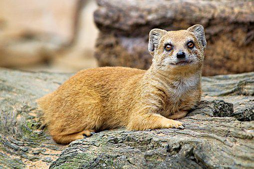 Mongoose, Fox, Cat, Promykovitá, African, Mammal