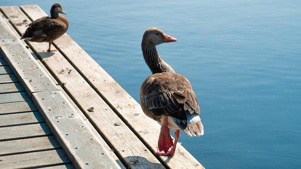 Geese, Animals, Nature, Birds, Bill, Poultry, Swim