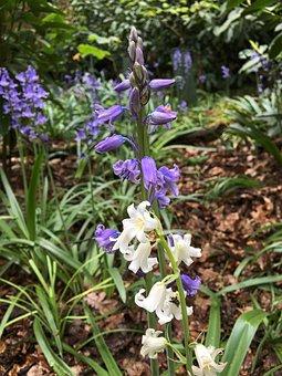 White Bluebell, Bluebell, Nature, Flower, Wood