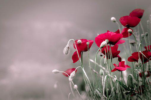 Poppies, Flowers, Nature, Opium, Summer, Spring, Plant