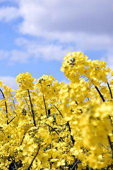 Oilseed Rape, Yellow, Sky, Nature, Field Of Rapeseeds