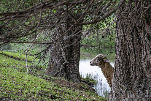 Szolnok, Jumbled River, Sheep, Nature, Animals, Cute