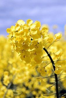 Oilseed Rape, Blossom, Bloom, Yellow, Spring, Landscape