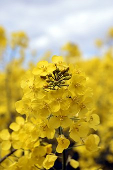 Oilseed Rape, Field, Yellow, Landscape, Spring, Nature