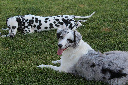 Dog, Dalmatian, Pet, Pedigree, Breed, Domestic, Canine