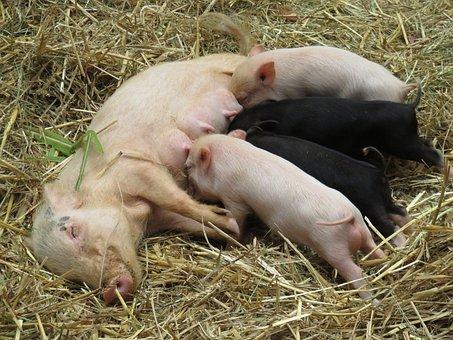 Animals, Pigs, Piglet, Farm, Minnischweine, Suckle
