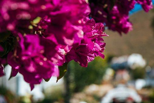 Bougainvillea, Spain, Fuerta, Flower, Summer, Pink