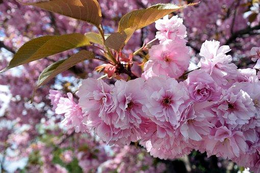 Cherry Blossom, Pink, Sky, Branch, Nature, Cherry Tree