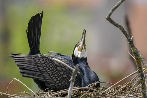 Tisza-lake ököcentrum, Poroszlo, Cormorant, Bird