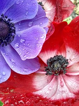 Poppies, Spring, Droplets, Red, Purple, Colorful, Bloom