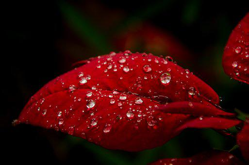 Red Leaf, Leaf, Dew, Moisten, Dark