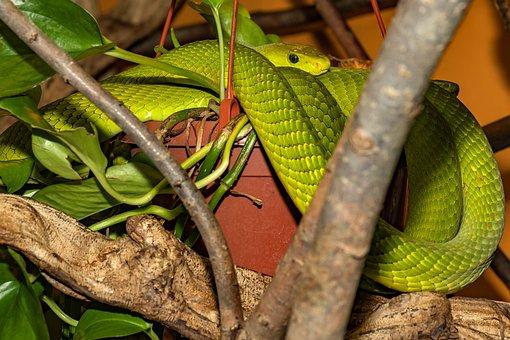 Snake, Venomous Snake, Green, Mamba, Close Up, Reptile
