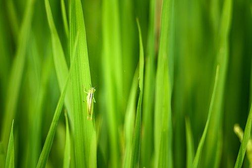 Locust, Green Grasshopper, Rice, Rice Field In Vietnam