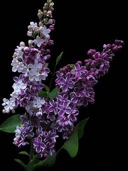 Lilac, Sensation, Precious Lilac, Flowers