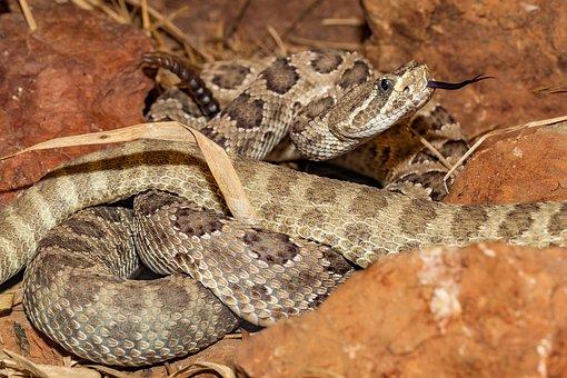 Snake, Venomous Snake, Rattlesnake, Close Up, Reptile