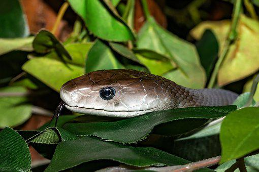 Snake, Venomous Snake, Black, Mamba, Close Up, Reptile