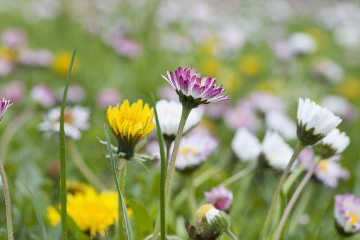 Daisy, Sow-thistle, Spring, Meadow, Yellow, Flowers