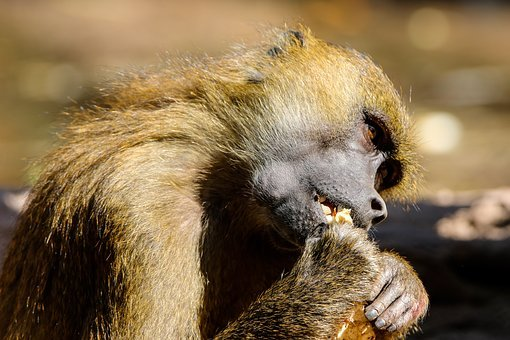 Animals, Monkey, Primate, Baboon, Sphinx Baboon, Hunger