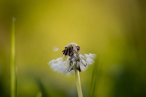 Dandelion, Spring, Meadow, Macro, Buttercup, Blossom