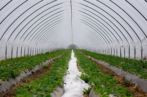 Wall Tunnel, Slide Tunnel, Strawberries