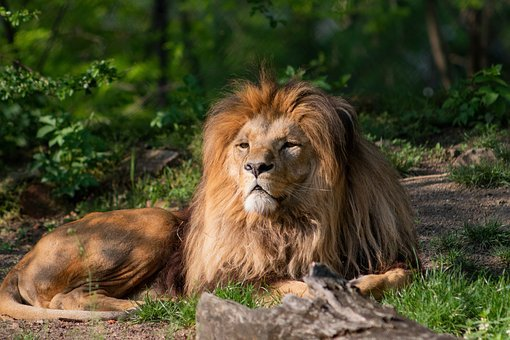 Lion, The King Of Beasts, Africa, Animal, Cat, Predator