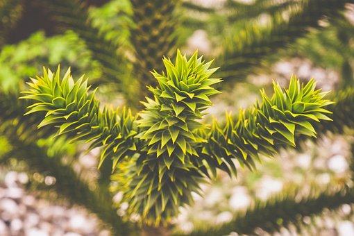 Tree, Araucaria, Snake Tree, Monkey Puzzle Tree