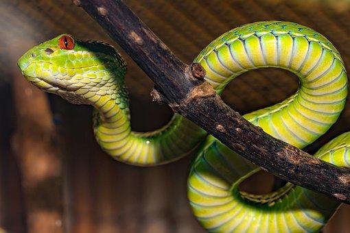 Snake, Venomous Snake, Green, Otter, Close Up, Reptile