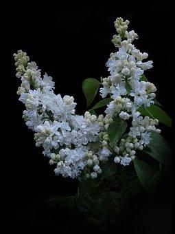 Lilac, White Lilac, Flowers, Ornamental Shrub