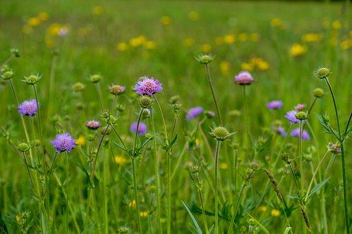 Flower Meadow, Wild Flowers, Nature, Flowers, Meadow