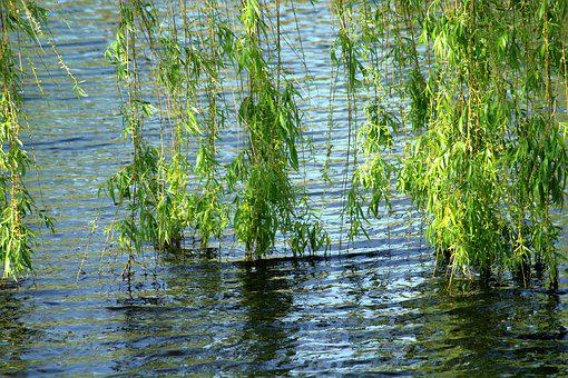 Willow, Tree, Foliage, Spring, Weeping Willow