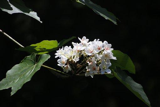Aegiceras, Tung Flowers, Full Blossom, Wu Yuexue