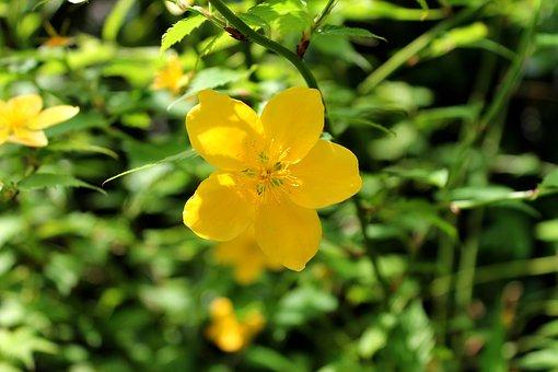 Yamabuki Flowers, Spring, Garden, Flower Bed, Plant