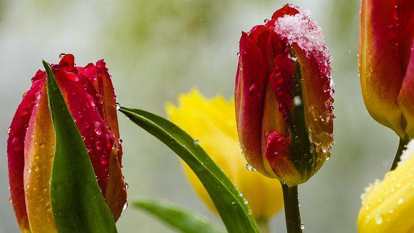 Tulips, Red, Yellow, Flowers, Snow, Frost, Spring, Drip
