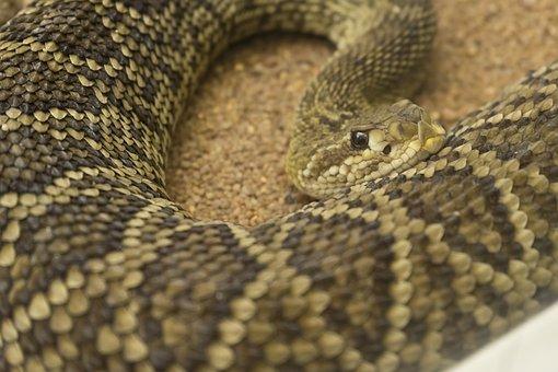 Snake, Zoo, Rattle Snake, Reptile, Animal, Toxic, Skin