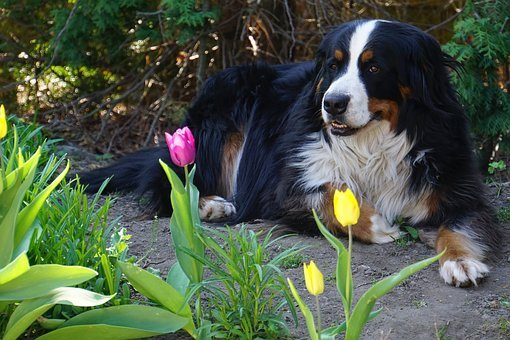 Bernese Mountain Dog, Dog, Animal, Bitch, Purebred Dog
