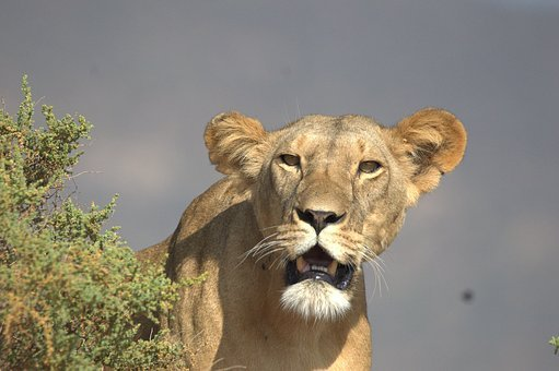 Mama Lion, Big Cat, Lion, Africa, Nature, Wilderness