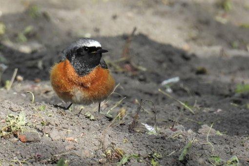 Stonechat, Bird, Songbird, Feather