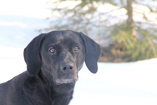Labrador, Gundog, Black Dog, Pet, Animal, Canine, Doggy
